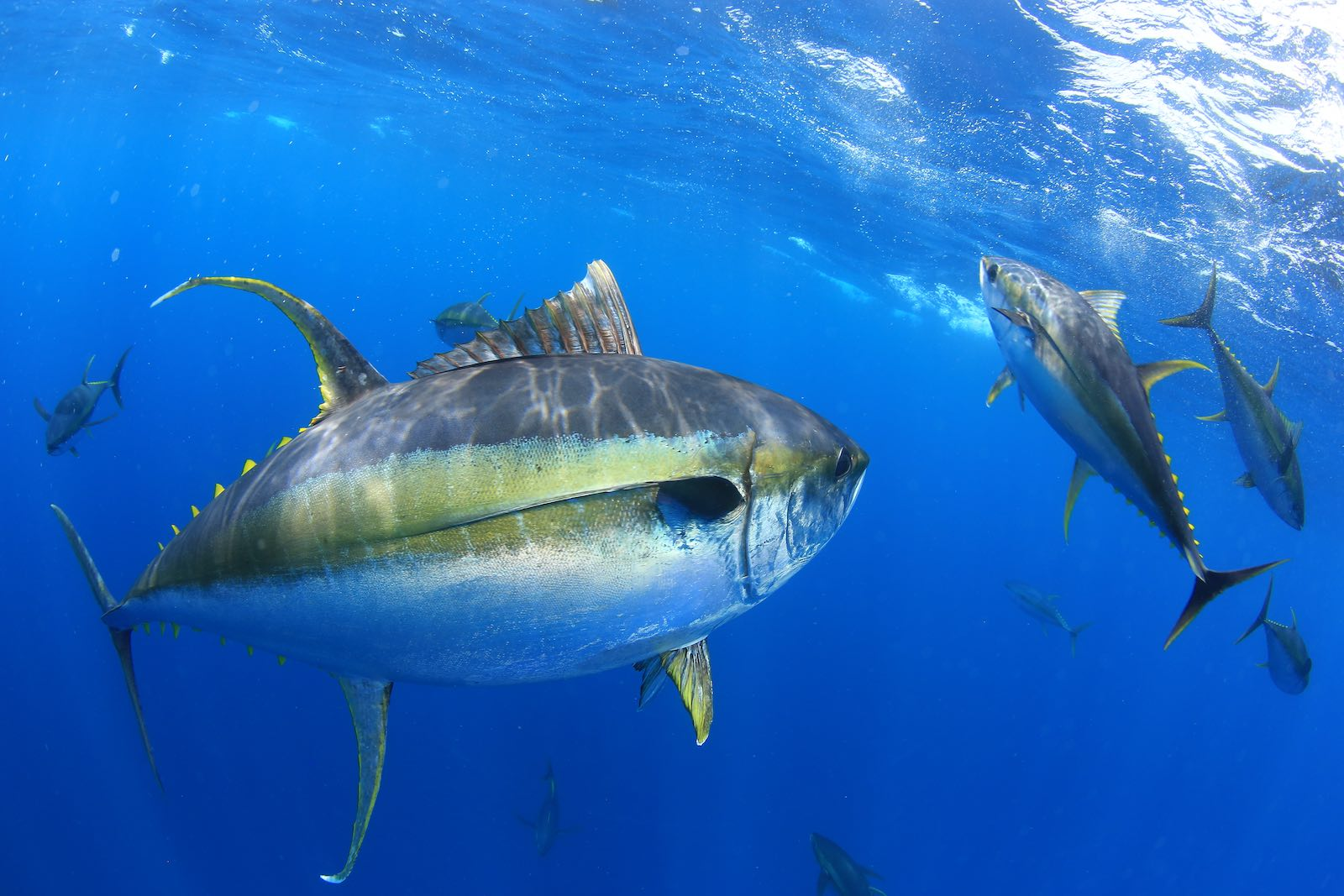 yellowfin tuna fishing charter